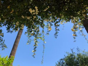 In Arlington Gardens, view looks up at yellow flowers hanging from green branches past two palm trees to the blue sky.