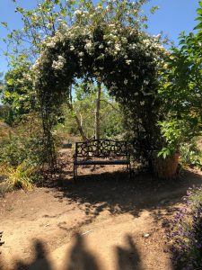 In Arlington Gardens sits a wooden bench underneath an arch covered in small, yellow flowers and green branches on a dirt path in the sun with blue sky.