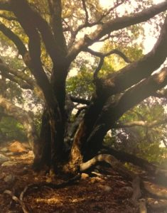 Sunlit picture of Live Oak tree in wooded forrest on Connected Family, LA: Topanga Canyon family outing.