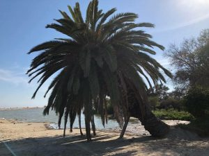A huge leaning green leafed pam tree with lagoon in background and blue sho on sandy beach during Connected Family Fun, LA; Malibu Lagoon time.