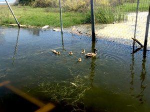 Mother mallard duck with five duckings swim in a green marshy lagoon at Malibu Lagoon.